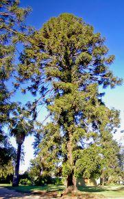 BUNYA PINE Araucaria bidwillii (Photo: Bidgee)