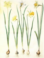 FLORAL FAVOURITE The daffodil has become one of the world's best loved cut flowers (Narcissus pseudonarcissus and Narcissus poeticus, gouache on vellum, in: Gottorfer Codex c.1659).