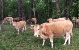 FREE RANGE Cattle in the woods near Prayssac.