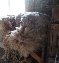800px-Wool_fleece_69